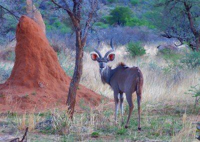 Kudu vor Termitenhügel, Namibia