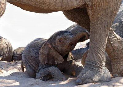 Wüstenelefantenbaby - Helmut Kühnert