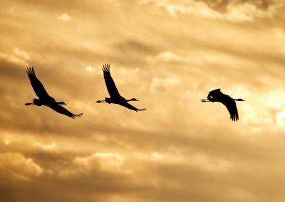 Kraniche im Sonnenuntergang - Hartmut Löhn