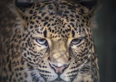 Leopard - Damir Markovic