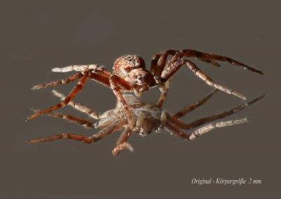 Februar 15 - Junge Spinne - Siegmund-Markwart