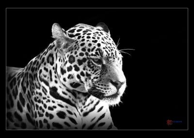 Jaguar - Damir Markovic