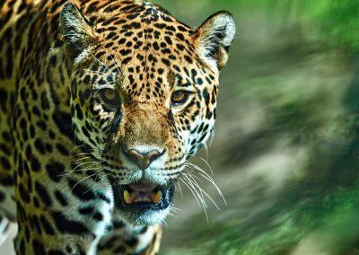 Leopard attention Haiko Römisch