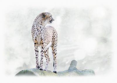 Watching Cheetah - Haiko Römisch